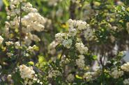 Śnieguliczka biała - opis, charakterystyka, sadzenie, pielęgnacja, właściwości trujące