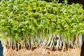 Rzeżucha krok po kroku - jak zasadzić i pielęgnować rzeżuchę?