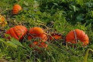 Dynia w ogrodzie – odmiany, sadzenie, uprawa, pielęgnacja