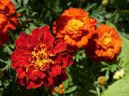 Aksamitka - najlepsze odmiany do ogrodu, wysiew, uprawa i pielęgnacja