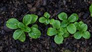 Roszponka – uprawa, pielęgnacja, właściwości, zastosowanie w kuchni