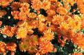 Chryzantemy w ogrodzie - odmiany, sadzonki, uprawa, pielęgnacja, podlewanie