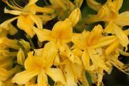 Azalia pontyjska (różanecznik żółty) - odmiany, wymagania, uprawa, pielęgnacja