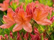Różanecznik japoński - odmiany, wymagania, uprawa, pielęgnacja, porady