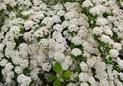 Tawuła wczesna (Spiraea arguta) - uprawa, pielęgnacja, przycinanie, rozmnażanie