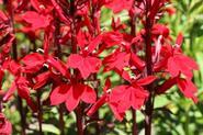 Lobelia cardinalis - do akwarium - uprawa, pielęgnacja, wymagania, porady