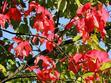 Klon czerwony (Acer rubrum, RED SUNSET) - opis, sadzenie, pielęgnacja, choroby, ceny