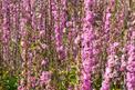 Judaszowiec chiński - sadzonki, uprawa, pielęgnacja, ceny, porady