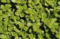 Portulaka warzywna - uprawa, pielęgnacja, zastosowanie w kuchni