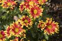 Stokrotka afrykańska (osteospermum) – sadzenie, uprawa, pielęgnacja, rozmnażanie, wymagania