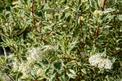 Dereń elegantissima (biały) - sadzenie, uprawa, cięcie, pielęgnacja