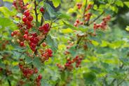 Porzeczka alpejska - uprawa, pielęgnacja, sadzenie na żywopłot