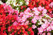 Begonia Dragon - stanowisko, wymagania, uprawa, pielęgnacja i zimowanie tego pięknego kwiatu