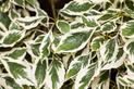 Dereń pagodowy - sadzenie, uprawa, pielęgnacja, opinie, porady