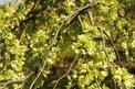 Wiąz górski (ulmus glabra) - opis drzewa, uprawa, pielęgnacja, choroby, porady, cena