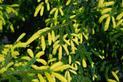 Świerk kaukaski - odmiany, sadzenie, uprawa, pielęgnacja, porady