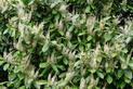 Laurowiśnia - odmiany, uprawa, pielęgnacja, choroby, cięcie, cena