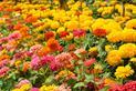 Cynia wytworna – wysiew, uprawa, pielęgnacja i rozstawa pięknego kwiatu