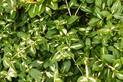 Trzmielina pnąca - odmiany, uprawa, pielęgnacja, zimowanie