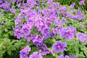 Bodziszek wspaniały (Geranium magnificum) - uprawa, pielęgnacja, zastosowanie, porady