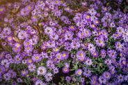 Aster nowoangielski (Symphyotrichum nova-angliae) - opis, odmiany, ceny sadzonek, uprawa, pielęgnacja, porady