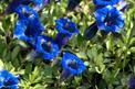 Goryczka w ogrodzie - gatunki, uprawa, pielęgnacja, porady praktyczne