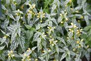 Jasnota gajowiec (Lamium galeobdolon) - uprawa, pielęgnacja, wymagania