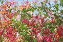 Wiciokrzew - odmiany, uprawa, rozmnażanie i inne ciekawostki