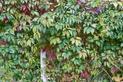 Winobluszcz pięciolistkowy - cena, sadzenie, rozmnażanie, uprawa, pielęgnacja