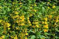 Tojeść w ogrodzie - odmiany, uprawa, pielęgnacja, zastosowanie