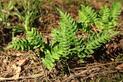 Paproć leśna - odmiany, wymagania, uprawa i pielęgnacja w ogrodzie