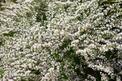 Zatrwian tatarski - nasiona, uprawa, pielęgnacja, wymagania, porady