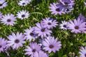 Dimorfoteka ogrodowa - piękny kwiat - wysiew, uprawa, pielęgnacja, porady