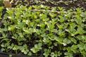 Rozsada selera (sadzonki) krok po kroku - jak i kiedy posadzić seler?