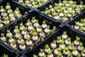 Cebulki tulipanów - ceny, rodzaje, gdzie kupić i na co zwrócić uwagę?