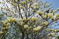 Magnolia żółta - odmiany, cena, uprawa, pielęgnacja, porady