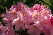 Różanecznik olbrzymi - uprawa, pielęgnacja, porady praktyczne