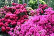 Ceny rododendronów - sprawdzamy, ile kosztują sadzonki i krzewy