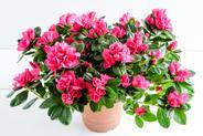 Rododendron w donicy - sadzenie, uprawa, pielęgnacja, porady