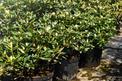 Sadzenie rododendronów krok po kroku - jak i kiedy sadzić?