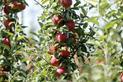 Jabłoń Gala - opis, sadzenie, uprawa, pielęgnacja, przycinanie