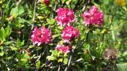 Różanecznik alpejski - ceny, sadzonki, uprawa, pielęgnacja