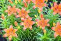 Sadzonki liliowców krok po kroku - odmiany, ceny, porady, opinie