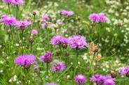 Chaber łąkowy - występowanie, zwalczanie, szkodliwość