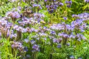 Facelia błękitna - odmiany, siew, uprawa, pielęgnacja