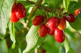 Dereń jadalny - uprawa, odmiany, ciekawostki