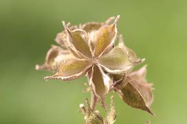 Dyptam jesionolistny, czyli popularny krzew mojżesza - uprawa, zastosowanie, właściwości
