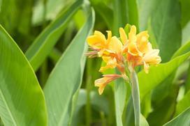 Kanna (paciorecznik) - uprawa, pielęgnacja, porady ogrodnicze