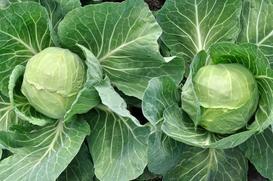 Kapusta - odmiany, uprawa, pielęgnacja - porady dla każdego