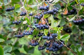 Aronia czarna - uprawa, pielęgnacja, właściwości lecznicze owoców aronii